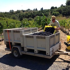 Rod gently filling bins with Pinot Noir