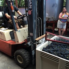 Chris moving grapes