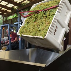Chardonnay on it's way to the press