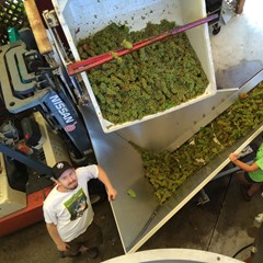 Chris and Annabel pressing chardonnay